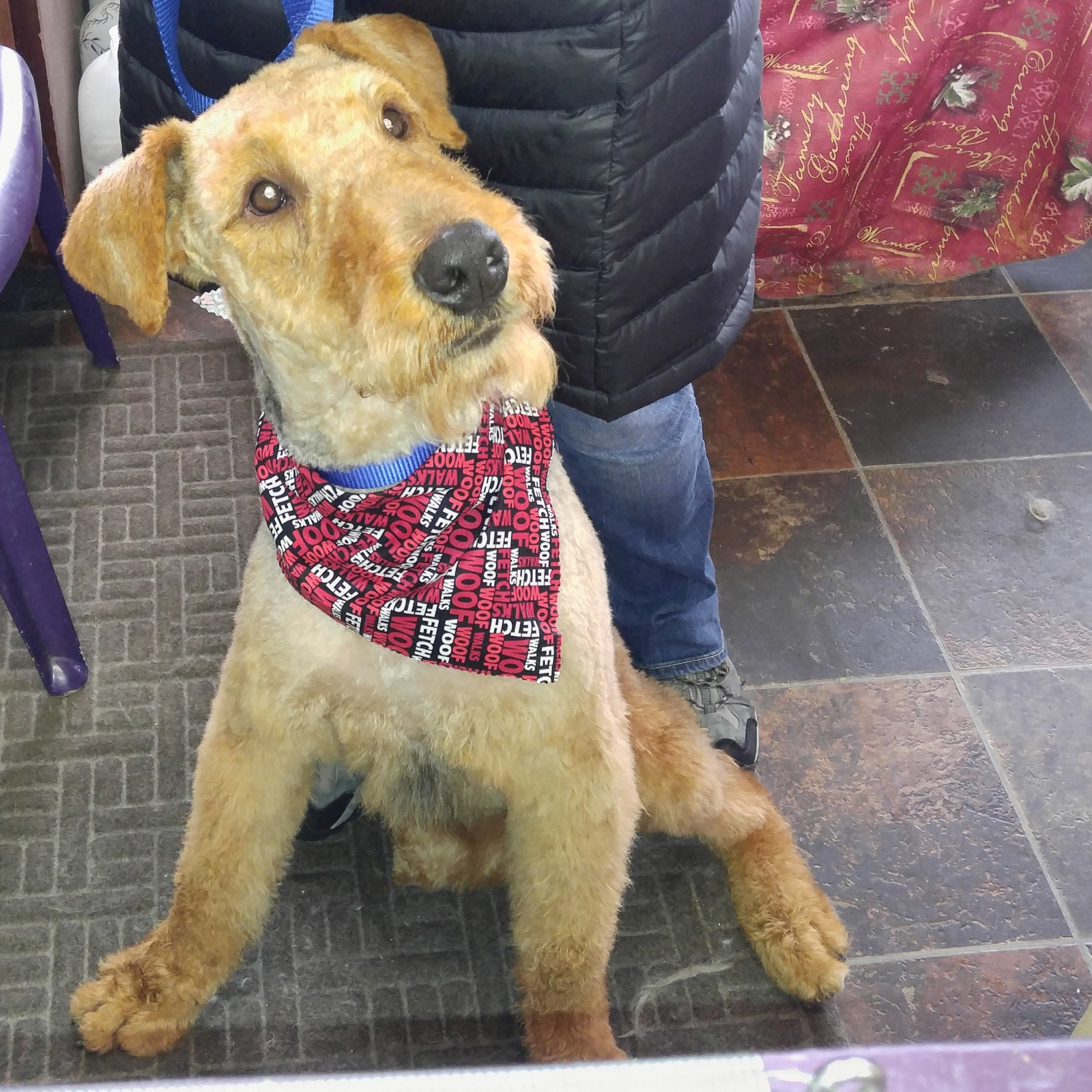 ATRA - Airedale Terrier Rescue & Adoption | Finding loving homes one