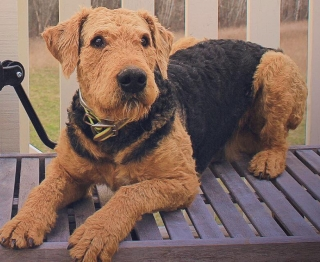 Lost and Found | ATRA - Airedale Terrier Rescue & Adoption