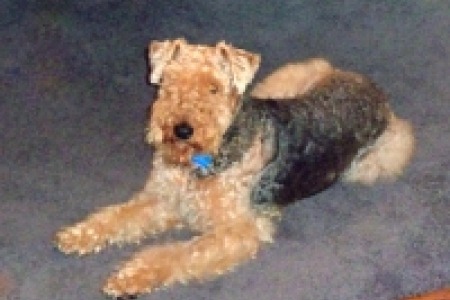 Finding loving homes one Airedale at a time | ATRA ...