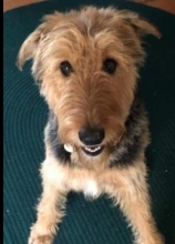 ATRA - Airedale Terrier Rescue & Adoption   Finding loving
